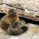 Marmotta con i PIccoli