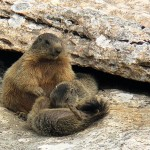 La Repubblica delle Marmotte
